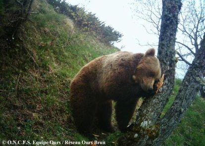 Balou, el único oso de los Pirineos que no desciende de Pyros.