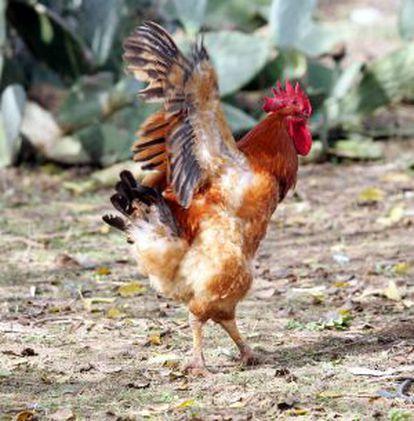 Un gallo en un corral en la localidad sevillana de Palomares del Río.