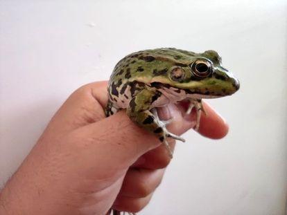 Grenoucerie prevé criar un millón de ranas en dos años.