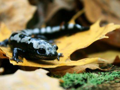 Aunque los anfibios están entre los animales más afectados por el cambio climático, especies como la salamandra plateada han ampliado su rango geográfico gracias al calentamiento.