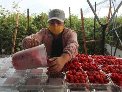 Un trabajador pone en envases frambuesas en una granja en Jalisco (México).