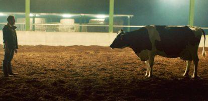 Las vacas son seres sociales y su comportamiento puede influir en la composición de la leche que producen.