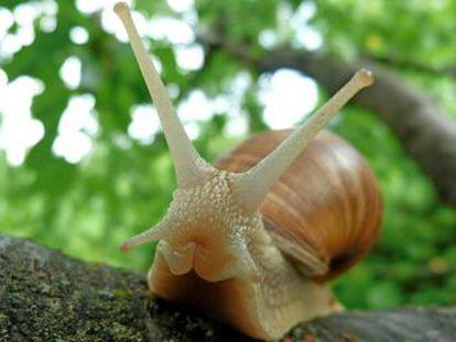 Algunos caracoles clavan un dardo a la pareja para favorecer su descendencia
