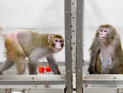 Un mono de 27 años que siguió la restricción calórica (izquierda) junto a otro de 29 que comió cuanto quiso.