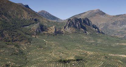 Olivares en Sierra Mágina (Jaén).