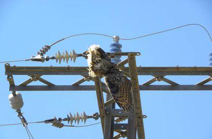 Un búho real electrocutado en un poste peligroso.