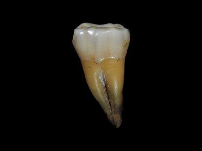 El molar de 'Homo sapiens' hallado en Bulgaria.