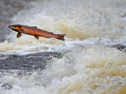 Un salmón remonta el río Etterick, en Escocia.