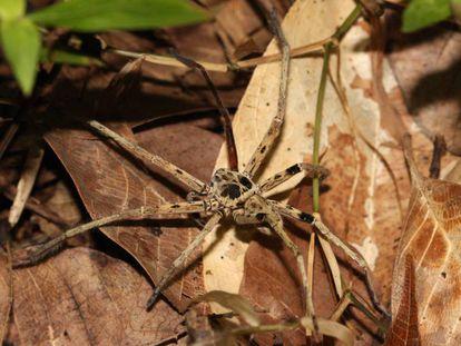 Una araña de Malasia, uno de los pequeños depredadores que se ven más afectados por la pérdida de hábitat.