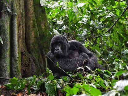 Gorila de montaña joven después de una tormenta en la selva tropical de Bwindi. Este 2020 han nacido siete cachorros, frente a los tres de 2019. El Servicio de Vida Silvestre de Uganda habla de un 'baby boom'.