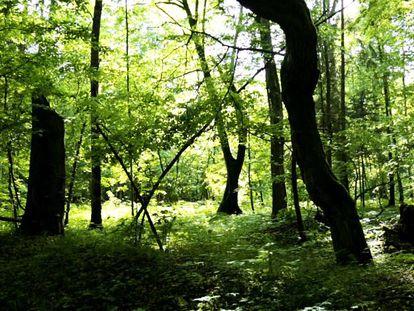 Bosque primitivo de Bialowieza (Polonia).