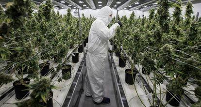 Sala de cultivo de marihuana para uso medicinal, situada en Smith Falls (Canadá).