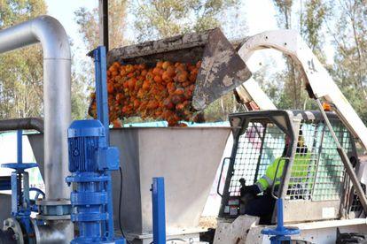 Una de las fases del proceso de transformación de las naranjas urbanas en biogás, en Sevilla.
