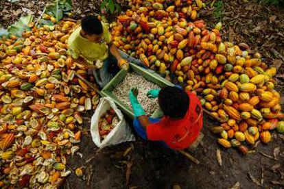 Recolección de cacao en el Estado de Bahía, al este de Brasil.
