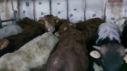 Calves on the Elbeik ship.