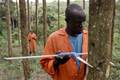 Un trabajador de la británica New Forests Company mide el tamaño de un eucaliptus en una de las plantaciones de la empresa.