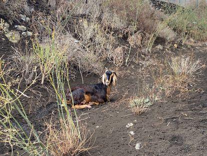 Una cabra doméstica fotografiada por Manuel Nogales en la zona cercana a la colada.