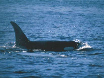 Ejemplar de orca en la zona de la Columbia Británica (Canadá), en el Océano Pacífico.