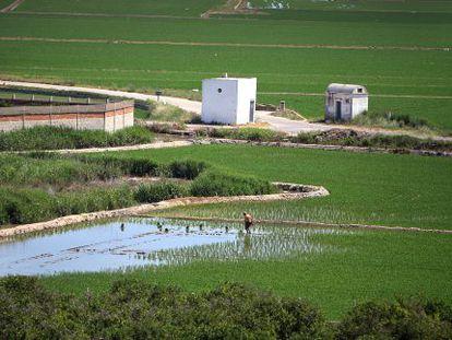 Arrozales vistos desde la Muntanyeta dels Sants en Sueca.