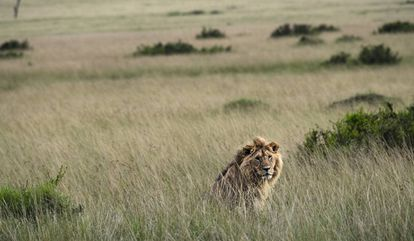 Un león entre la hierba alta, donde a veces no se divisan hasta estar muy cerca.