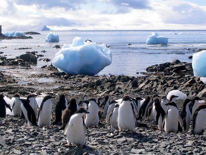 Pingüinos adelia cerca de la base antártica argentina Esperanza.
