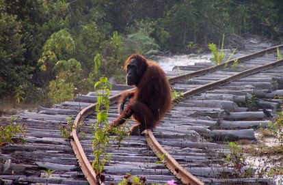 La pérdida del hábitat es la mayor amenaza para el orangután.