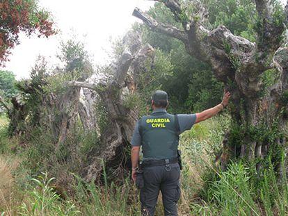 Un agente de la Guardia Civil junto a los olivos sustraidos.
