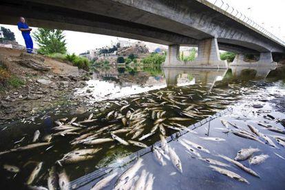 La mortandad de peces en el Tajo en Toledo la semana pasada.