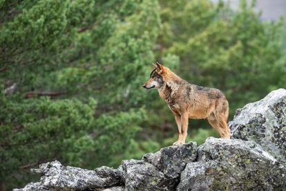 Un lobo cerca de Puebla de Sanabria, en Castilla y León.