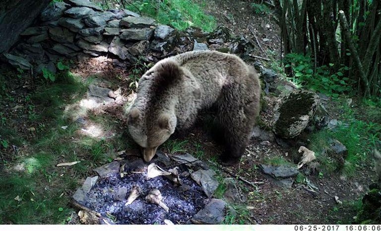 Oso pardo revolviendo los restos de una hoguera durante el experimento para analizar cómo los carnívoros alteraron el registro fósil.