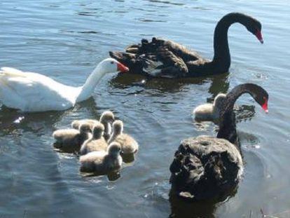 'Thomas' junto a la pareja de cisnes ('Henry' y 'Herriette') y su polluelos.
