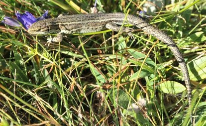 Una lagartiga de turbera 'Zootoca vivipara louislantzi' fotografiada en el Pirineo Aragonés.