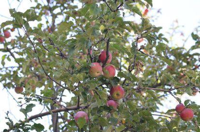 Manzanas salvajes en las montañas de Tian Shan.