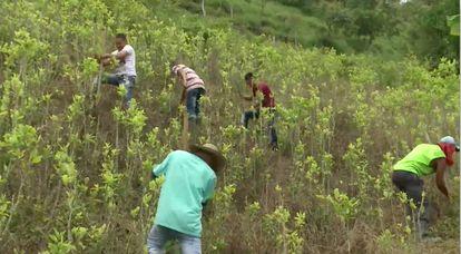 Campesinos cocaleros erradican matas de coca en Las Colinas.