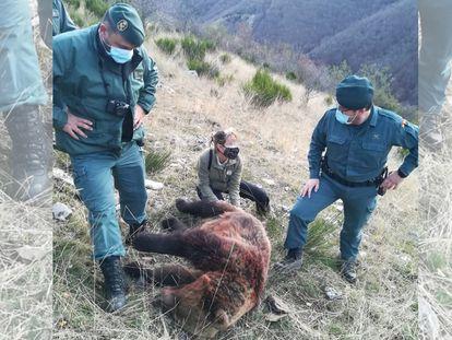 La osa abatida el pasado domingo en una cacería en el parque natural de Fuentes Carrionas, en Palencia.