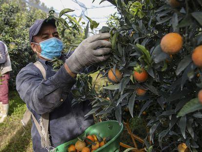 Un temporero marroquí recoge mandarinas en los cultivos de Foleli, en la isla francesa de Córcega, el 29 de octubre de 2020.