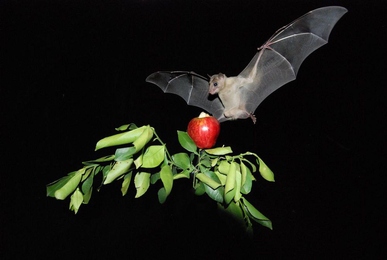Murciélago frugívoro de la colonia de la Universidad de Tel Aviv. / GPS-Bat