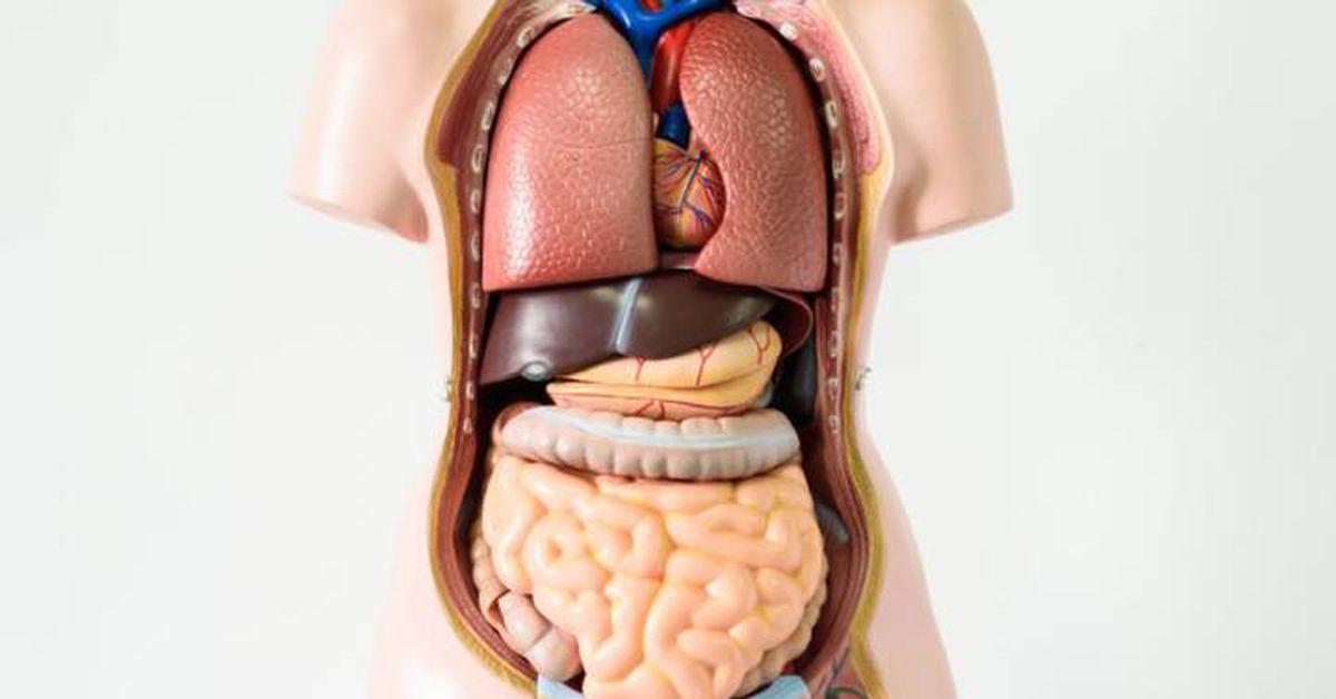 Siete órganos Sin Los Que Puedes Vivir Ciencia El País