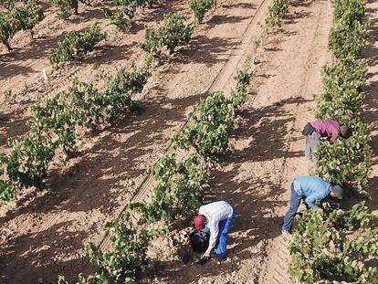 Vendimia en un viñedo de Ribera del Duero.