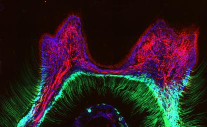 Proteínas de un diente marcadas con moléculas que emiten fluorescencia, vistas a través de un microscopio de alta resolución.
