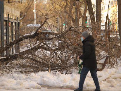 Un peatón camina al lado de un árbol caído por el peso de la nieve en el centro de Madrid, el pasado sábado.