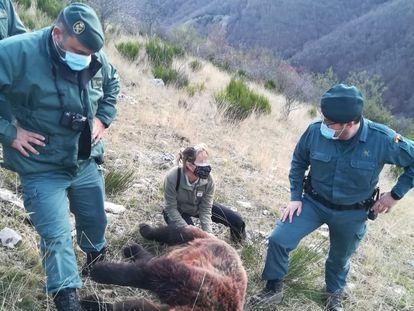 Imagen de la osa abatida este domingo de un disparo en Fuentes Carrionas (Palencia) distribuida por la Guardia Civil.
