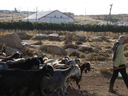 Un pastor palestino con su rebaño ante el asentamiento israelí de Ibei Hanahal, al sur de Belén (Cisjordania).