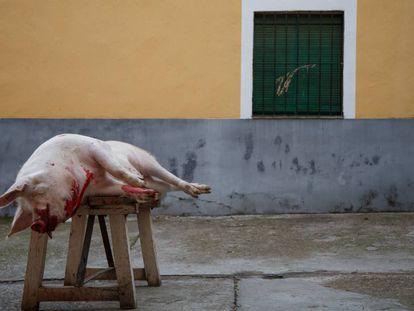 Un cerdo sacrificado en una matanza en un pueblo de Toledo.