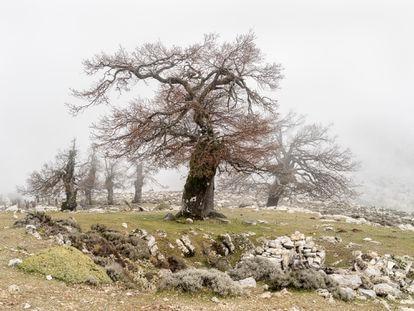 Quejigos de montaña, con sus troncos deformados por los años, la nieve y su uso histórico tradicional.