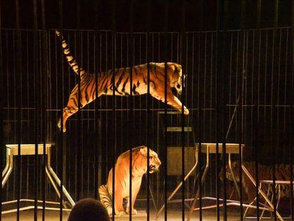Tigres ejecutando un número de doma en el Circo de Praga.