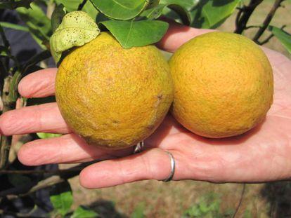 Naranjas afectadas por el dragón amarillo o huanglongbing.