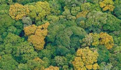 Ejemplares del 'Ocotea monteverdensis', especie endémica de la cordillera de Tilarán (Costa Rica).