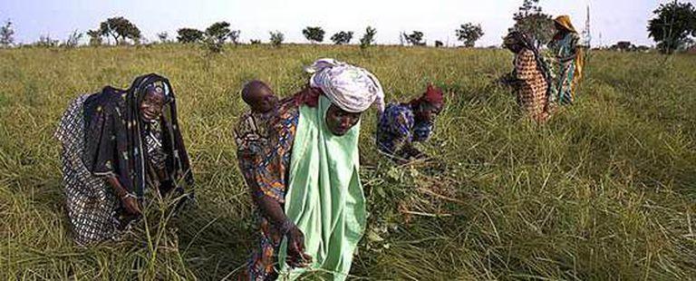 Trabajadoras en un campo de chufas de Níger.
