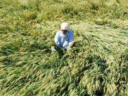 Un agricultor de cereales revisa su cosecha a las afueras de Amritsar (India).